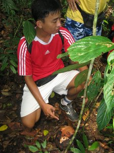 Borneo, Sarawak, rafflesia, lundu, largest flower, mountain, nature, national park, bud