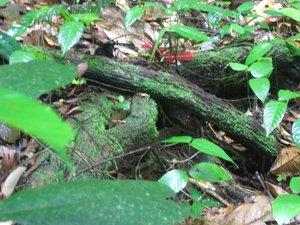 Borneo, Sarawak, rafflesia, lundu, largest flower, mountain, nature, national park