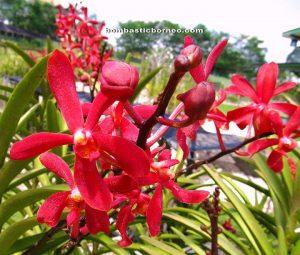 Orchid garden, kuching, sarawak, malaysia, borneo, lady slipper, event, flower