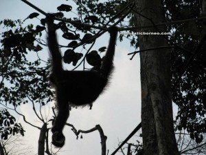 pongo pygmaeus, primates, forest man, Kuching, Malaysia, National Park, nature reserve, adventure, outdoor, trekking, jungle, rainforest, endangered species,