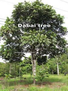 borneo, kuching, sarawak, sibu, canarium odontophyllum, malaysia, local olive, exotic delicacy, fruits, food, sarikei, kapit, tree