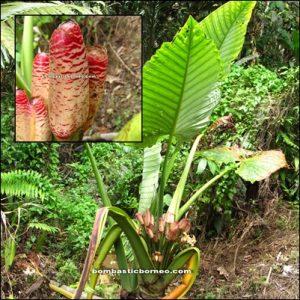 Borneo, Kalimantan barat, siding, patie cave, rock climbing, bird nest, swiflet, adventure, mountain, dayak, land, bidayuh, jungle, transborder, kampung padang pan, gumbang