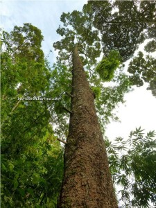 A very tall durian tree