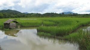 paddy field, singkawang, bengkayang, kalimantan barat, indonesia, beach, borneo, chap goh meh, chinese new year, sambas