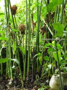 antique, Betong, cannon, Durian Isu, Durian Pakan, Malaysia, mangoes, nature, rambutan, Sarawak, traditional, jungle,