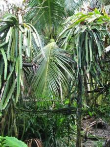 Borneo, Bunga Kantan, dabai, Durian Isu, Durian Pakan, exotic delicacy, jungle fruits, local olive, mangoes, nature, rambutan, wild ginger,