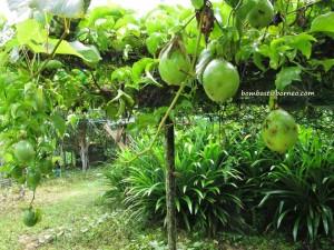 Bunga Kantan, dabai, Durian Isu, Durian Pakan, exotic delicacy, exotic fruit, jungle fruits, local olive, mangoes, nature, rambutan, traditional, wild ginger,