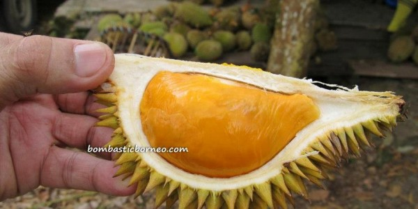 Borneo, Durian farm, exotic delicacy, hiking, jungle, Kuching, malaysia, nature, Nutritious, outdoors, Pasir Pandak, pasir panjang, rainforest, Santubong, Tourism, tourist attraction, trekking,