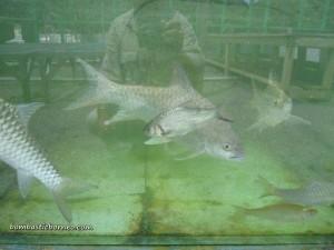 Design, development, fish breeder, IDEAS, Innovation, Indigenous fisheries, research centre, Serian, Tarat Agriculture Station, UITM, Universiti Teknologi MARA, farming