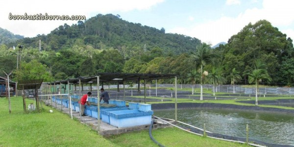 Design, development, empurau, fish breeder, freshwater, IDEAS, Innovation, Invention, research centre, Serian, UITM, Universiti Teknologi MARA, 忘不了鱼