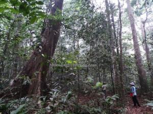 authentic, Desa Kabo Jaya, east kalimantan timur, ecotourism, ecowisata, hiking, Borneo, National park, Obyek wisata, orang utan, prevab, rainforest, Sangatta, taman nasional kutai, Tourism, tourist attraction, wild plant,