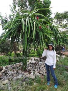 natural, detox, Buah Naga, east kalimantan, Exotic Fruits, healthy, Kaltim, native, Obyek wisata, Samarinda, Sepinggan International Airport, 火龙果