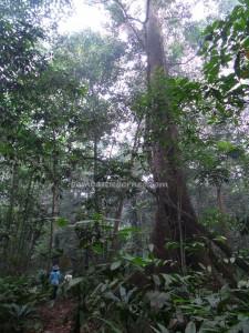 adventure, Desa Kabo Jaya, kalimantan Timur, ecowisata, hiking, nature, Obyek wisata, orang utan, outdoors, prevab, primary jungle, rainforest, Sangatta, taman nasional kutai, trekking, wild plant, ecotourism,