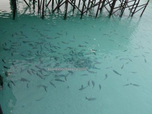 Berau, Borneo, Derawan Archipelago, dive center, diving site, accommodation, marine life, nature, Obyek wisata, outdoors, pasir putih, Sandy white beaches, island, Tourism, tourist attraction, travel guide, underwater,