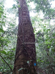 adventure, authentic, Borneo, east kalimantan, ecotourism, ecowisata, Kutai National park, nature, Obyek wisata, orang utan, outdoors, primary jungle, rainforest, Sangatta, tourist attraction, trekking, wild plant, wildlife