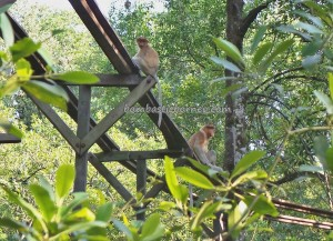adventure, Bekantan, Borneo, jungle, Kawasan Konservasi, Kota, Mangrove Forest Conservation Area, Monyet Belanda, Nature Reserve, outdoors, proboscis monkey, Protected Animals, Tourism, tourist attraction, travel guide, trekking, wildlife,