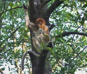 adventure, Indonesia, Borneo, hiking, jungle, Forest Conservation Area, Monyet Belanda, Nature Reserve, obyek wisata alam, outdoors, proboscis monkey, Protected Animals, Tourism, tourist attraction, travel guide, trekking, wildlife,