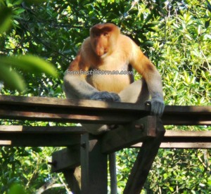 Indonesia, Bekantan, Borneo, hiking, jungle, North Kalimantan Utara, Kawasan Konservasi, Monyet Belanda, Nature Reserve, obyek wisata alam, outdoors, Protected Animals, Tourism, tourist attraction, travel guide, trekking, wildlife,