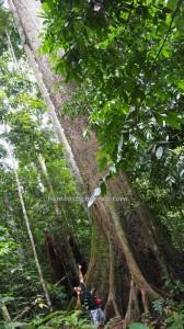 Taman Bukit Tawau, Hills Park, backpackers, Borneo, Malaysia, Adventure, nature, outdoor, Trekking, ecotourism, tourist attraction, travel guide, Seraya Kuning Siput, yellow meranti, 婆罗洲, 马来西亚旅游景点