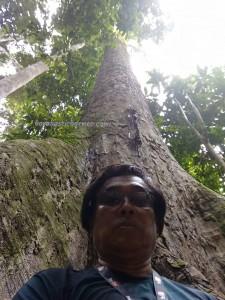 Tawau Hills Park, backpackers, Borneo, Malaysia, destination, nature, Hiking, ecotourism, tourist attraction, travel guide, Useful information, Seraya Kuning Siput, Shorea Faguetiana, 世界最高的热带树, 婆罗洲, 沙巴马来西亚旅游景点