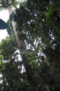 Taman Bukit, Tawau Hills Park, backpackers, Borneo, Malaysia, hornbill, Adventure, nature, outdoor, Trekking, Hiking, ecotourism, tourist attraction, yellow meranti, 婆罗洲, 沙巴旅游景点