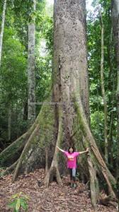 Sabah, Taman Bukit Tawau, backpackers, Borneo, Malaysia, destination, outdoor, Trekking, tourism, tourist attraction, travel guide, Useful information, Seraya Kuning Siput, Shorea Faguetiana, yellow meranti, 婆罗洲,