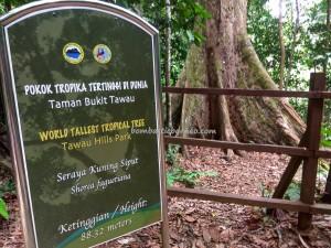Taman Bukit Tawau, backpackers, Borneo, Malaysia, Adventure, nature, outdoor, Trekking, ecotourism, tourist attraction, travel guide, Useful information, Shorea Faguetiana, yellow meranti, 世界最高的热带树, 婆罗洲, 沙巴马来西亚旅游景点