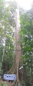 Taman Bukit, backpackers, Borneo, Malaysia, destination, Adventure, nature, outdoor, ecotourism, tourist attraction, travel guide, Seraya Kuning Siput, Shorea Faguetiana, yellow meranti, 世界最高的热带树, 婆罗洲, 沙巴马来西亚旅游景点