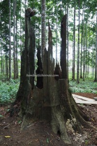 Borneo, South Kalimantan, Pulau, Sebelimbingan village, white meranti trees, Hutan Wisata Meranti, Shorea bracteolate, conservation, ecowisata, nature, Obyek wisata, Tourism, tourist attraction, 南加里曼丹, 婆罗州