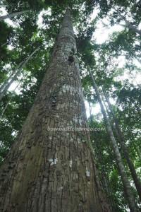 Borneo, Indonesia, Kalimantan Selatan, Pulau Laut, Island, Sebelimbingan village, white meranti trees, Shorea bracteolate, ecotourism, ecowisata, Obyek wisata, travel guide, 南加里曼丹, 婆罗州