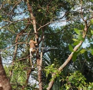 adventure, outdoors, nature, Boat ride, Borneo, Indonesia, Pulau Kaget, Sungai Martapura, Barito Kuala, Obyek wisata, Tourism, travel guide, Bekantan, proboscis monkey, 长鼻猴