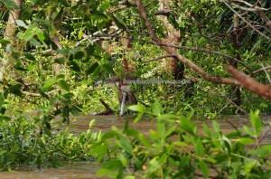 adventure, outdoors, nature, Boat ride, Indonesia, Kota Banjarmasin, Martapura river, Barito Kuala, Obyek wisata, Tourism, tourist attraction, Pulau Kaget, Bekantan, Monyet Belanda, 长鼻猴