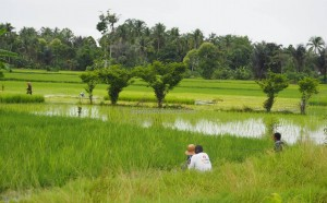 authentic, Indigenous, Kandangan, Banjarese, Hulu Sungai Selatan, sawah padi, Tourism, tourist attraction, obyek wisata, traditional, 南加里曼丹, 婆罗州, 稻田, 旅游景点