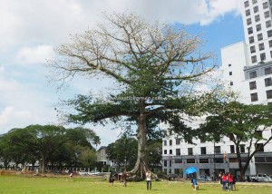 Kapok tree, blooming, flowering, Ceiba Pentandra, cotton balls, town, Malaysia, Borneo, Padang Merdeka, heritage, nature, outdoors, tourist attraction, travel guide, 古晉木棉花盛开,