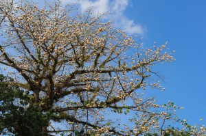 Kapok tree, blooming, Bombax Ceiba, cotton balls, Sarawak, Malaysia, Borneo, Merdeka Square, heritage, nature, outdoors, travel guide, exotic plant, 古晉, 木棉花盛开