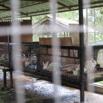 mini zoo, Agro Resort Semuji, Gambang, Kuantan, Recreational, nature, outdoors, activities, team building, fruit orchard, chalets, accommodation, tourist attraction, travel guide, Useful information