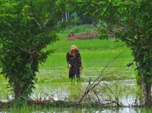 authentic, Indigenous, Kandangan, Banjarese, native, Hulu Sungai Selatan, sawah padi, Tourism, tourist attraction, traditional, travel guide, village, 南加里曼丹, 婆罗州, 稻田