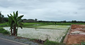 ethnic, Banjarese, native, Borneo, Hulu Sungai Selatan, paddy field,, tourist attraction, obyek wisata, traditional, travel guide, village, 南加里曼丹, 婆罗州, 稻田, 旅游景点
