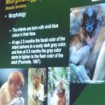 Nasalis Lavartus, Bekantan, Monyet Belanda, conservation, ecology, reproduction, public awareness talk, Kuching, Borneo, wildlife, primate, Useful information, 沙捞越, 婆罗洲, 长鼻猴