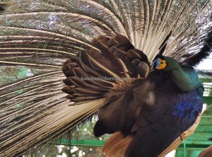 Ladang Budaya, Cultural Center, backpackers, destination, Borneo, Kalimantan Timur, Mangkurawang, family vacation, peacock, wildlife, nature, Obyek wisata, Tourism, travel guide, 婆罗州旅游景点