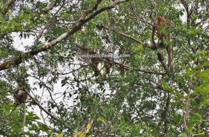 Betong, Bekantan, National Park, peat swamp forest, primate, wildlife, boat ride, proboscis monkey, Nasalis Lavartus, Borneo, Tourism, tourist attraction, travel guide, 沙捞越婆罗洲, 长鼻猴