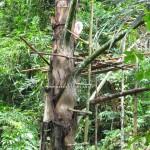 ijuk, ijok, jungle trekking, authentic, backpackers, dayak bidayuh, native, Kampung Gumbang, Kuching, 沙捞越, traditional, travel guide, wild fruits, exotic delicacy,