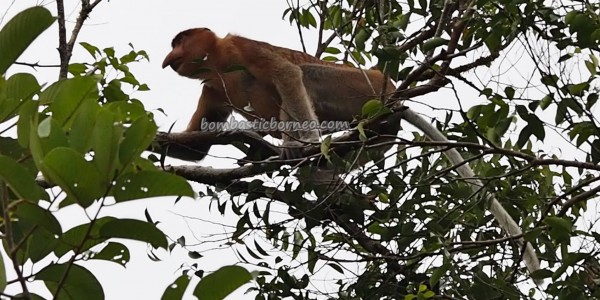 backpackers, Taman Negara, peat swamp forest, primate, wildlife, Protected Species, adventure, river safari, monyet belanda, Borneo, Tourism, tourist attraction, travel guide, 沙捞越婆罗洲, 长鼻猴