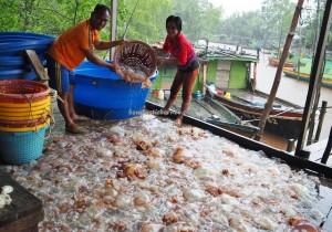 Kilang proses Ubur Ubur, exotic seafood, homestay, backpackers, Betong, Borneo, Malaysia, ethnic malay, fishing village, Kampung Melayu, Tourist attraction, travel guide, 沙捞越婆罗洲, 水母
