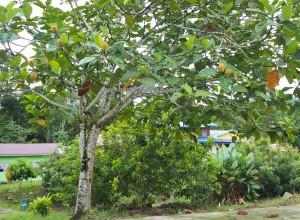 Kampung Tang Itong, village, kulit kayu topi, tree bark crafts, Kraftangan, Malaysia, dayak, native, Orang Ulu, Lun Bawang Festival, Lawas, Limbang, Tourism, travel guide, traditional, buah