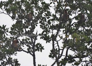 Proboscis monkey, Pulau Kaniungan Kecil, Teluk Sulaiman, fishing village, adventure, nature, outdoor, Borneo, Island, Obyek wisata, Tourist attraction, travel guide, holiday, 东加里曼丹, 婆罗洲岛,