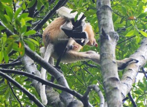 Kawasan Konservasi Mangrove, Nature Reserve, proboscis monkey, Bekantan, nature, outdoor, destination, Kalimantan Utara, Obyek wisata alam, Tourism, travel guide, crossborder, 北加里曼丹, 长鼻猴, 旅游景点