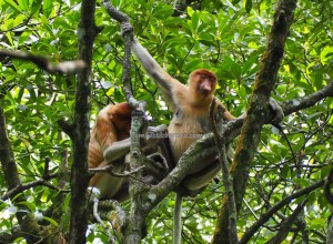 Mangrove Forest Conservation Area, national park, Bekantan, Protected Animals, Monyet Belanda, adventure, jungle trekking, backpackers, Indonesia, North Kalimantan, Tourism, tourist attraction, transborder, 婆罗洲长鼻猴, 旅游景点