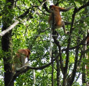 national park, Nature Reserve, protected Animals, Bekantan, wildlife, adventure, Borneo, Indonesia, North Kalimantan, Obyek wisata alam, Tourism, tourist attraction, travel guide, crossborder, 北加里曼丹, 婆罗洲长鼻猴