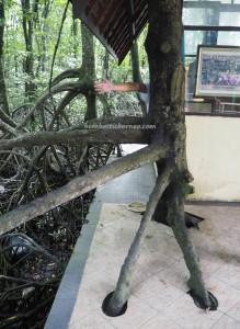 Mangrove Forest Conservation Area, national park, proboscis monkey, Protected Animals, Bekantan, wildlife, destination, Indonesia, Kalimantan Utara, Obyek wisata, Tourism, tourist attraction, travel guide, transborder, 婆罗洲, 旅游景点,
